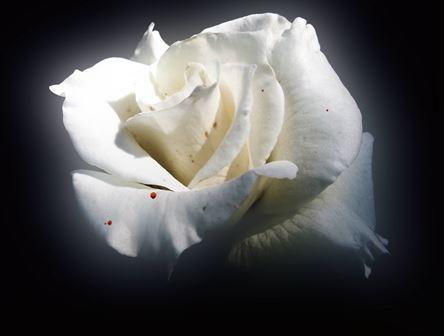 La Rose Pimprenelle
